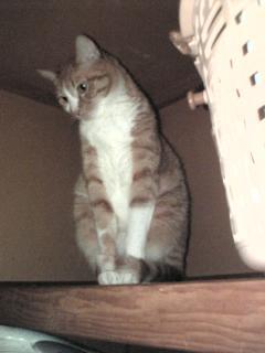 ダチの家の猫タンその名も「ジャッカル」